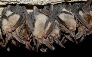 Imagine the fun of hanging out with your fellow Guano Bats in the cave!