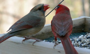 A females and male cardinal